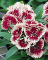Dianthus Ideal Series Cherry Picotee