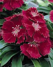 Dianthus Ideal Series Carmine
