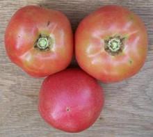 Traveler 76 Tomato