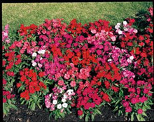 Dianthus Diamond Series Mix