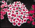 Dianthus Carpet Series Snowfire