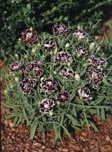 Dianthus Black And White Minstrels