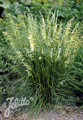 Ornamental Grass Seed - Deschampsia Caespitosa Seeds