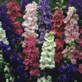 Delphinium Larkspur Qis Series Mix
