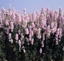 Delphinium Larkspur Qis Series Light Pink