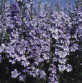 Delphinium Larkspur Qis Series Light Blue