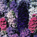 Delphinium Larkspur Giant Imperial Mix