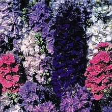 Delphinium Larkspur Giant Imperial Mix