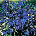 Delphinium Belladonna Oriental Blue