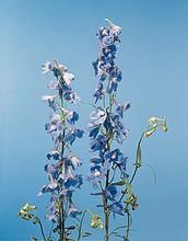 Delphinium Belladonna Belladonna Cliveden