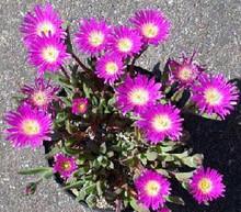 Delosperma Ice Plant Sutherlandii