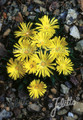 Delosperma Ice Plant Congestum 10 Perennial Seeds Pase Perennial Seeds