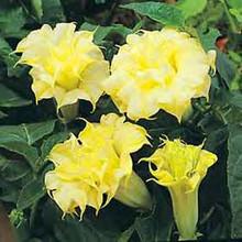 Datura Angel's Trumpet Double Golden Yellow