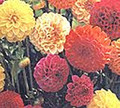 Dahlia Pompon Double Mix
