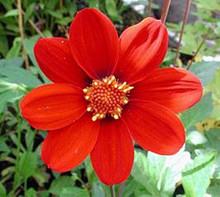 Dahlia Milano Series Red
