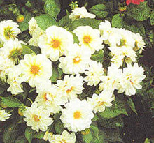 Dahlia Figaro Series White Shades