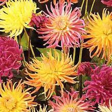 Dahlia Cactus Flowered Hybrids