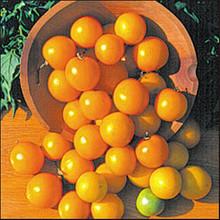 Czechs Excellent Tomato