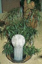Cyperus Umbrella Plant