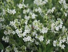 Cynoglossum Mystic White