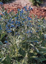 Cynoglossum Blue Showers