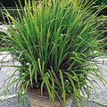 Ornamental Grass Seed - Cymbopogon Citratus