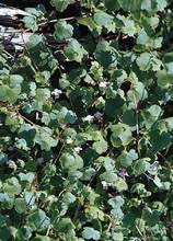 Cymbalaria Kenilworth Ivy Muralis