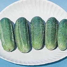 Cucumber Wisconsin Smr58
