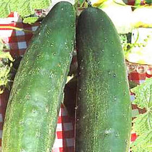 Cucumber Burpless #26
