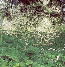 Crambe Cordifolia