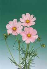 Cosmos Sonata Series Pink Blush