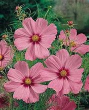 Cosmos Sensation Series Crimson Halo