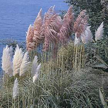 Ornamental Grass Seed - Cortaderia Pampas Grass Selloana Mix