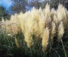 Ornamental Grass Seed - Cortaderia Pampas Grass Pumila