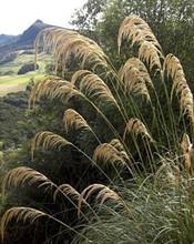 Ornamental Grass Seed - Cortaderia Pampas Grass Richardii