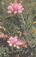 Coronilla Crownvetch Varia