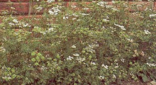 Herb Seeds - Coriander Slow Bolting
