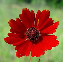 Coreopsis Red River Valley