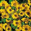 Coreopsis Basilis Sunshine
