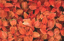 Coleus Wizard Series Sunset