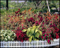Coleus Super Rainbow Series Master Mix
