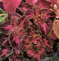 Coleus Super Rainbow Series Festive Dance