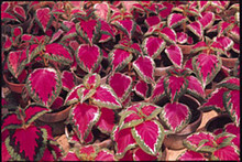 Coleus Super Rainbow Series Color Pride