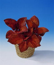 Coleus Giant Exhibition Magma Scarlet