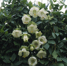 Cobaea Scandens White