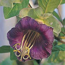 Cobaea Scandens Purple