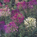 Cleome Sparkler Series Mix