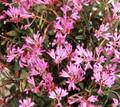 Clarkia Pink Ribbons