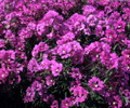 Clarkia Passion For Purple