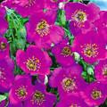 Cistanthe Grandiflora Brightness
